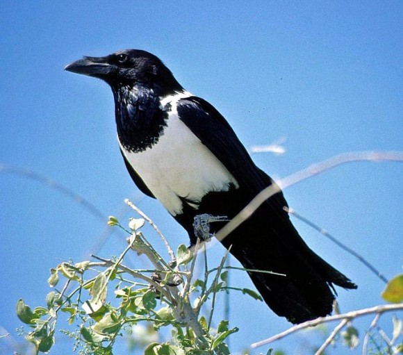 679px-Pied_Crow
