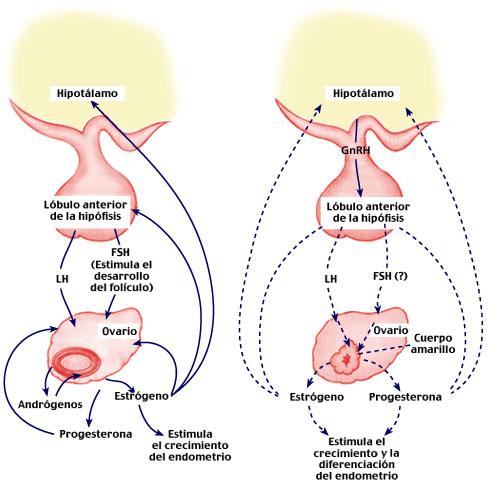El encéfalo produce y libera estrógenos. | Biomedicina | Experientia ...